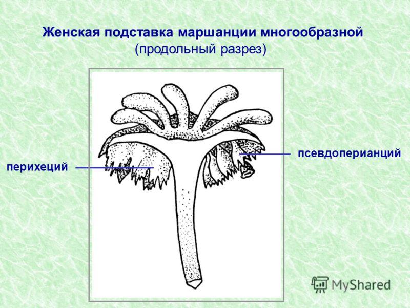 псевдоперианций перихеций Женская подставка маршанции многообразной (продольный разрез)