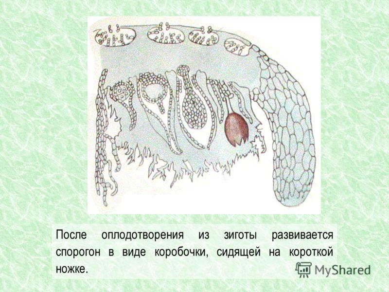 После оплодотворения из зиготы развивается спорогон в виде коробочки, сидящей на короткой ножке.
