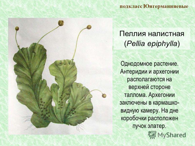 Пеллия налистная (Pellia epiphylla) подкласс Юнгерманниевые Однодомное растение. Антеридии и архегонии располагаются на верхней стороне таллома. Архегонии заключены в кармашко- видную камеру. На дне коробочки расположен пучок элатер.