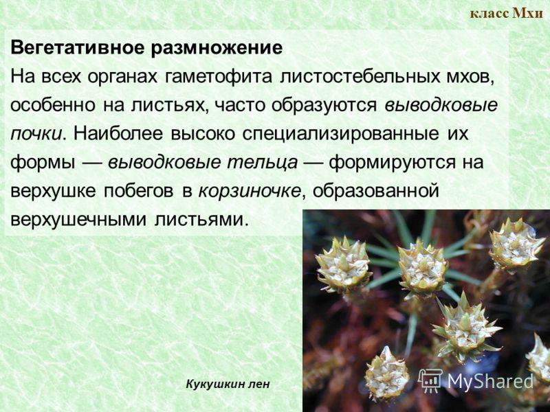 класс Мхи Вегетативное размножение На всех органах гаметофита листостебельных мхов, особенно на листьях, часто образуются выводковые почки. Наиболее высоко специализированные их формы выводковые тельца формируются на верхушке побегов в корзиночке, об