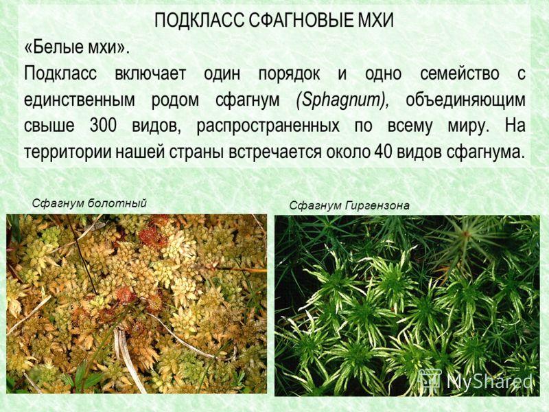 ПОДКЛАСС СФАГНОВЫЕ МХИ «Белые мхи». Подкласс включает один порядок и одно семейство с единственным родом сфагнум (Sphagnum), объединяющим свыше 300 видов, распространенных по всему миру. На территории нашей страны встречается около 40 видов сфагнума.