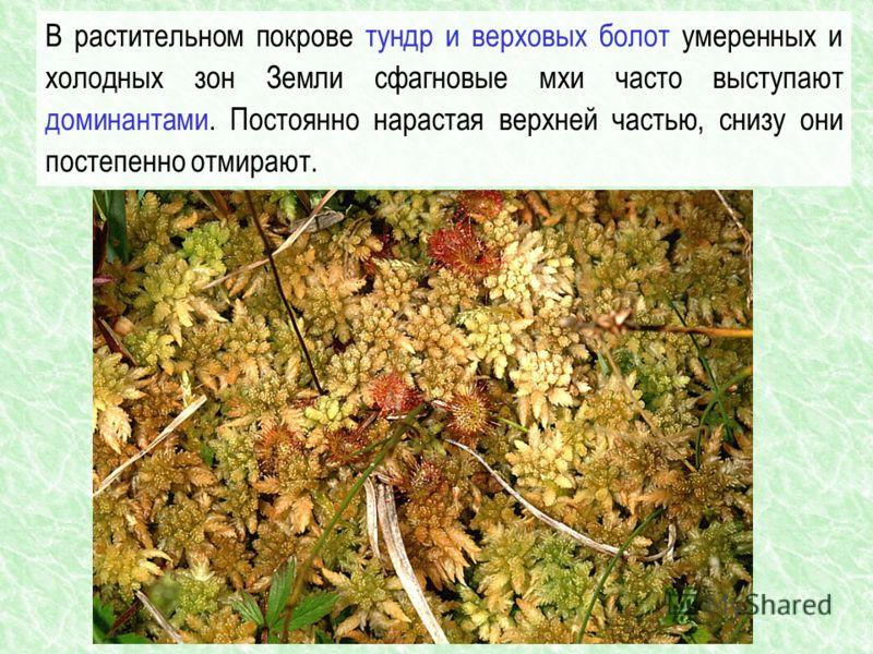 В растительном покрове тундр и верховых болот умеренных и холодных зон Земли сфагновые мхи часто выступают доминантами. Постоянно нарастая верхней частью, снизу они постепенно отмирают.
