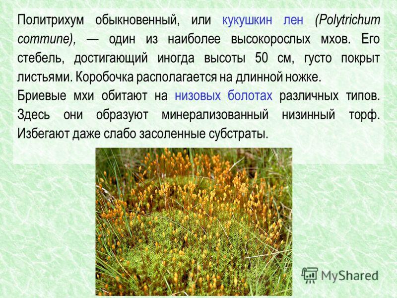Политрихум обыкновенный, или кукушкин лен (Polytrichum commune), один из наиболее высокорослых мхов. Его стебель, достигающий иногда высоты 50 см, густо покрыт листьями. Коробочка располагается на длинной ножке. Бриевые мхи обитают на низовых болотах