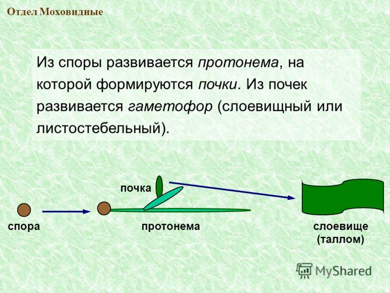 Из споры развивается протонема, на которой формируются почки. Из почек развивается гаметофор (слоевищный или листостебельный). спора почка протонема слоевище (таллом)