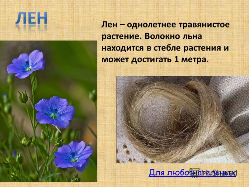 Лен – однолетнее травянистое растение. Волокно льна находится в стебле растения и может достигать 1 метра. Для любознательных