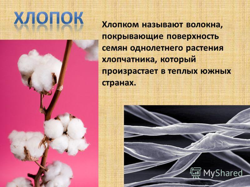 Хлопком называют волокна, покрывающие поверхность семян однолетнего растения хлопчатника, который произрастает в теплых южных странах.