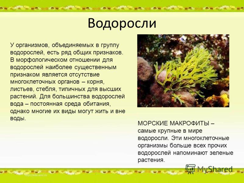 Водоросли У организмов, объединяемых в группу водорослей, есть ряд общих признаков. В морфологическом отношении для водорослей наиболее существенным признаком является отсутствие многоклеточных органов – корня, листьев, стебля, типичных для высших ра