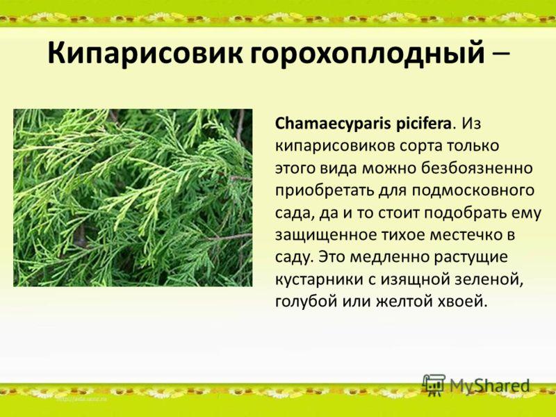 Кипарисовик горохоплодный – Chamaecyparis picifera. Из кипарисовиков сорта только этого вида можно безбоязненно приобретать для подмосковного сада, да и то стоит подобрать ему защищенное тихое местечко в саду. Это медленно растущие кустарники с изящн