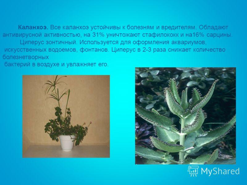 Каланхоэ. Все каланхоэ устойчивы к болезням и вредителям. Обладают антивирусной активностью, на 31% уничтожают стафилококк и на16% сарцины. Циперус зонтичный. Используется для оформления аквариумов, искусственных водоемов, фонтанов. Циперус в 2-3 раз