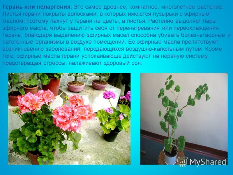 Герань или пеларгония. Это самое древнее, комнатное, многолетнее растение. Листья герани покрыты волосками, в которых имеются пузырьки с эфирным маслом, поэтому пахнут у герани не цветы, а листья. Растение выделяет пары эфирного масла, чтобы защитить