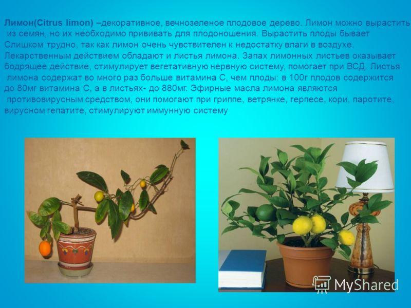 Лимон(Citrus limon) –декоративное, вечнозеленое плодовое дерево. Лимон можно вырастить из семян, но их необходимо прививать для плодоношения. Вырастить плоды бывает Слишком трудно, так как лимон очень чувствителен к недостатку влаги в воздухе. Лекарс