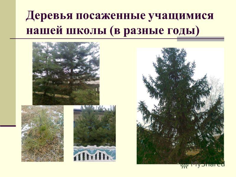 Деревья посаженные учащимися нашей школы (в разные годы)