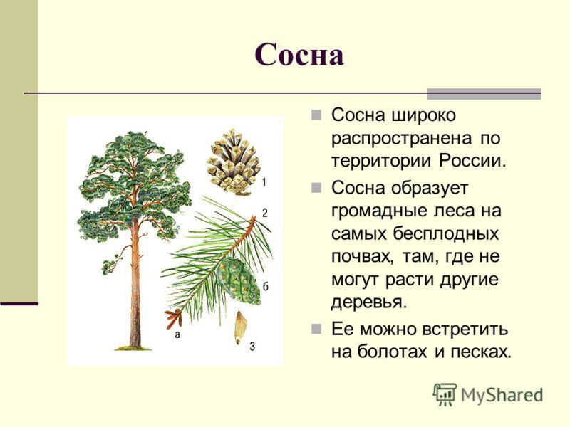 Сосна Сосна широко распространена по территории России. Сосна образует громадные леса на самых бесплодных почвах, там, где не могут расти другие деревья. Ее можно встретить на болотах и песках.
