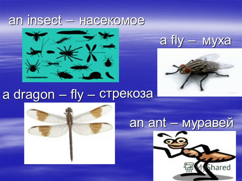 an insect – насекомое a fly – муха an ant – муравей a dragon – fly – стрекоза