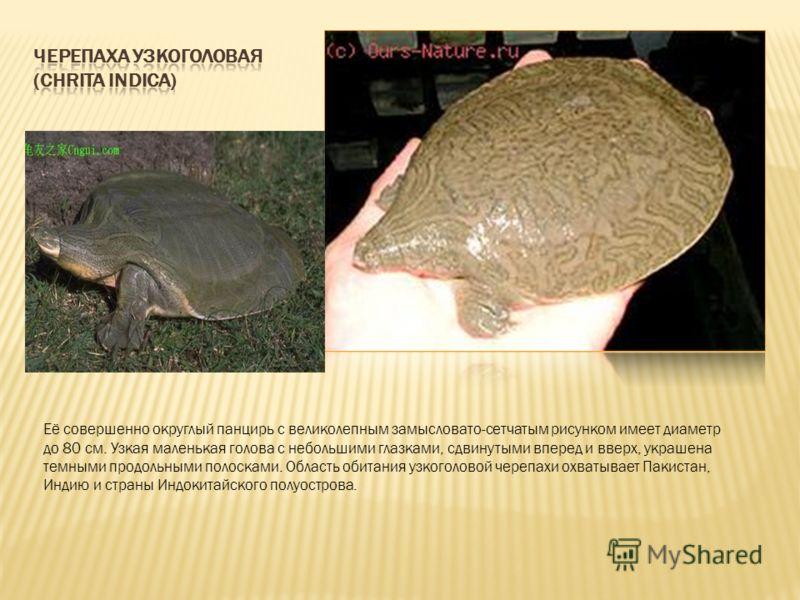 Её совершенно округлый панцирь с великолепным замысловато-сетчатым рисунком имеет диаметр до 80 см. Узкая маленькая голова с небольшими глазками, сдвинутыми вперед и вверх, украшена темными продольными полосками. Область обитания узкоголовой черепахи