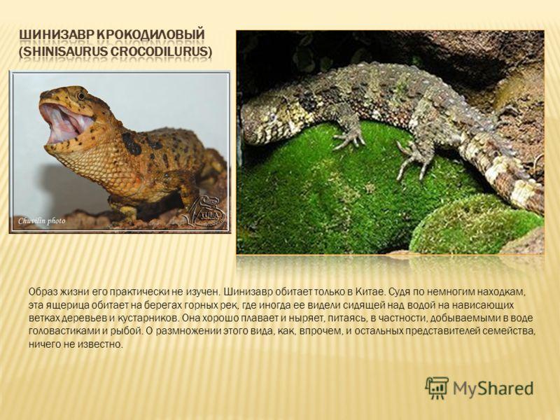 Образ жизни его практически не изучен. Шинизавр обитает только в Китае. Судя по немногим находкам, эта ящерица обитает на берегах горных рек, где иногда ее видели сидящей над водой на нависающих ветках деревьев и кустарников. Она хорошо плавает и ныр