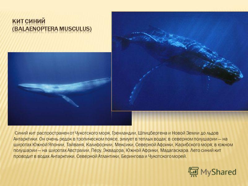 Синий кит распространен от Чукотского моря, Гренландии, Шпицбергена и Новой Земли до льдов Антарктики. Он очень редок в тропическом поясе, зимует в теплых водах: в северном полушарии на широтах Южной Японии, Тайваня, Калифорнии, Мексики, Северной Афр