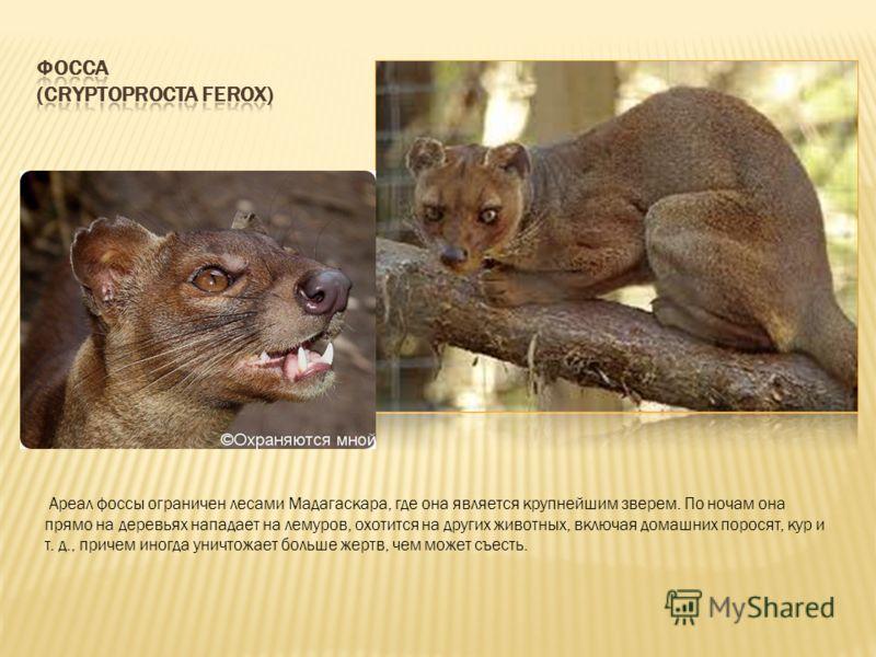 Ареал фоссы ограничен лесами Мадагаскара, где она является крупнейшим зверем. По ночам она прямо на деревьях нападает на лемуров, охотится на других животных, включая домашних поросят, кур и т. д., причем иногда уничтожает больше жертв, чем может съе