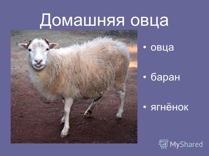 Домашняя овца овца баран ягнёнок