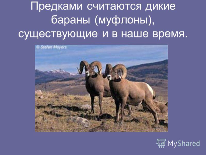 Предками считаются дикие бараны (муфлоны), существующие и в наше время.