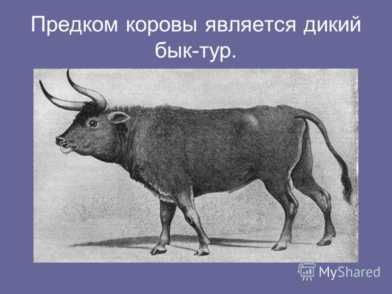Предком коровы является дикий бык-тур.