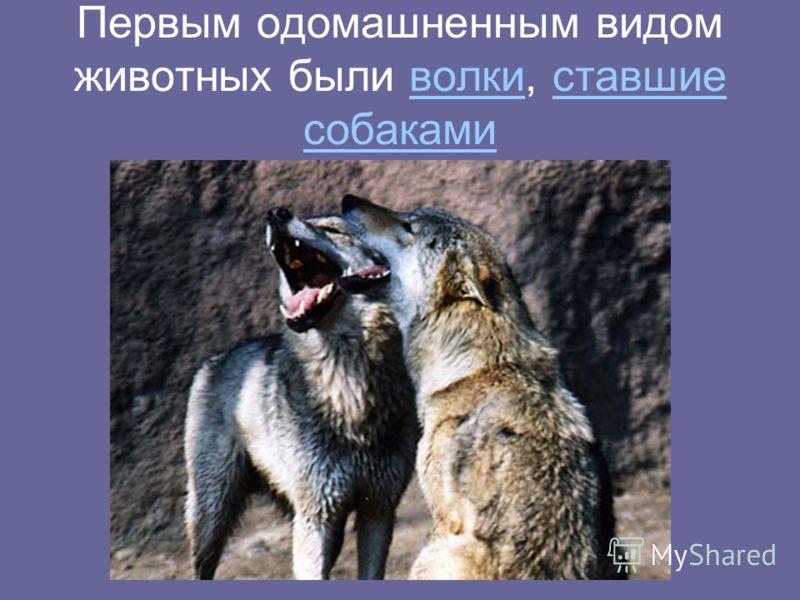 Первым одомашненным видом животных были волки, ставшие собакамиволки ставшие собаками