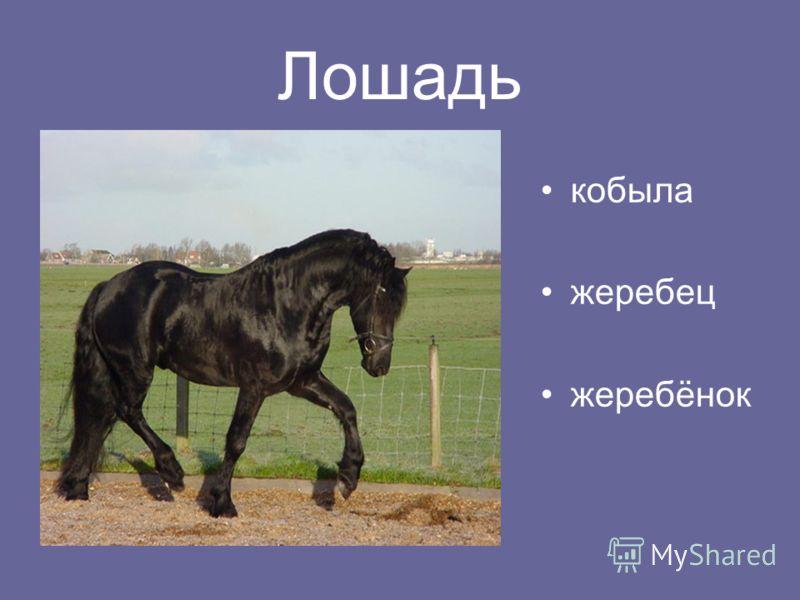 Лошадь кобыла жеребец жеребёнок