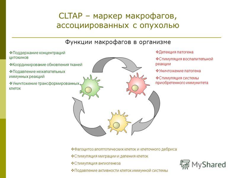 CLTAP – маркер макрофагов, ассоциированных с опухолью Поддержание концентраций цитокинов Координирование обновления тканей Подавление нежелательных иммунных реакций Уничтожение трансформированных клеток Детекция патогена Стимуляция воспалительной реа