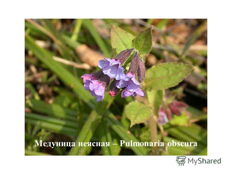Медуница неясная – Pulmonaria obscura