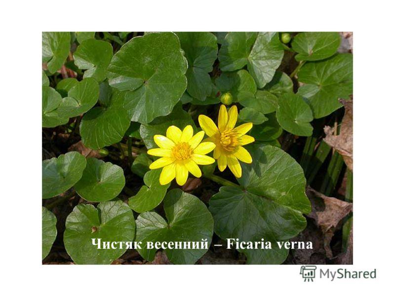 Чистяк весенний – Ficaria verna