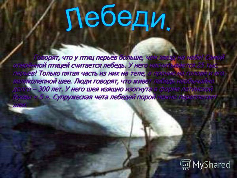 Говорят, что у птиц перьев больше, чем звезд на небе! Самой оперённой птицей считается лебедь. У него насчитывается 25 тыс. перьев! Только пятая часть из них на теле, а прочие на голове и его великолепной шее. Люди говорят, что живет лебедь необычайн