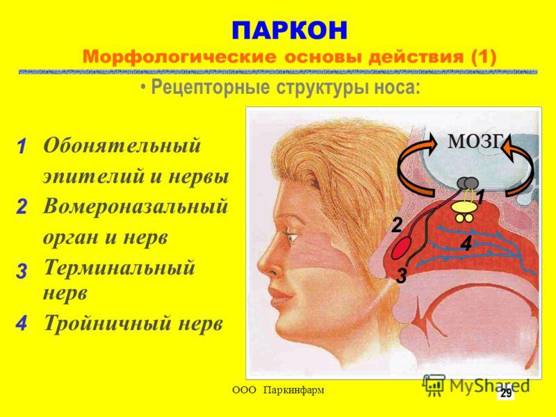 ООО Паркинфарм3 ПАРКОН Морфологические основы действия (1) Обонятельный эпителий и нервы Вомероназальный орган и нерв Терминальный нерв Тройничный нерв Рецепторные структуры носа: 1 4 3 2 1 2 3 4