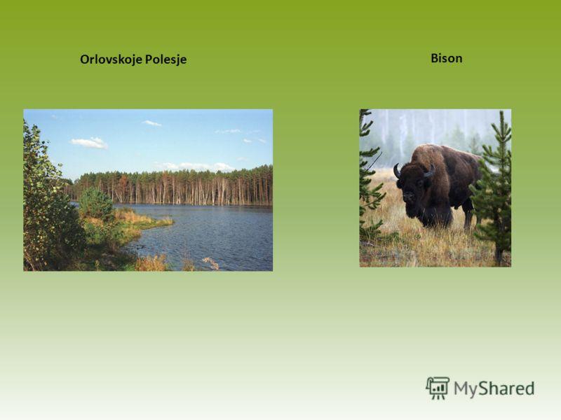 Orlovskoje Polesje Bison
