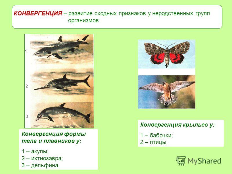 КОНВЕРГЕНЦИЯ КОНВЕРГЕНЦИЯ – развитие сходных признаков у неродственных групп организмов Конвергенция формы тела и плавников у: 1 – акулы; 2 – ихтиозавра; 3 – дельфина. Конвергенция крыльев у: 1 – бабочки; 2 – птицы. 2 1
