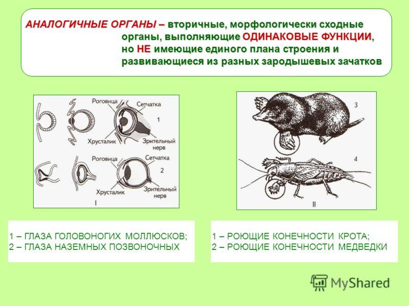 АНАЛОГИЧНЫЕ ОРГАНЫ – вторичные, морфологически сходные органы, выполняющие ОДИНАКОВЫЕ ФУНКЦИИ, но НЕ имеющие единого плана строения и развивающиеся из разных зародышевых зачатков 1 – ГЛАЗА ГОЛОВОНОГИХ МОЛЛЮСКОВ; 2 – ГЛАЗА НАЗЕМНЫХ ПОЗВОНОЧНЫХ 1 – РОЮ
