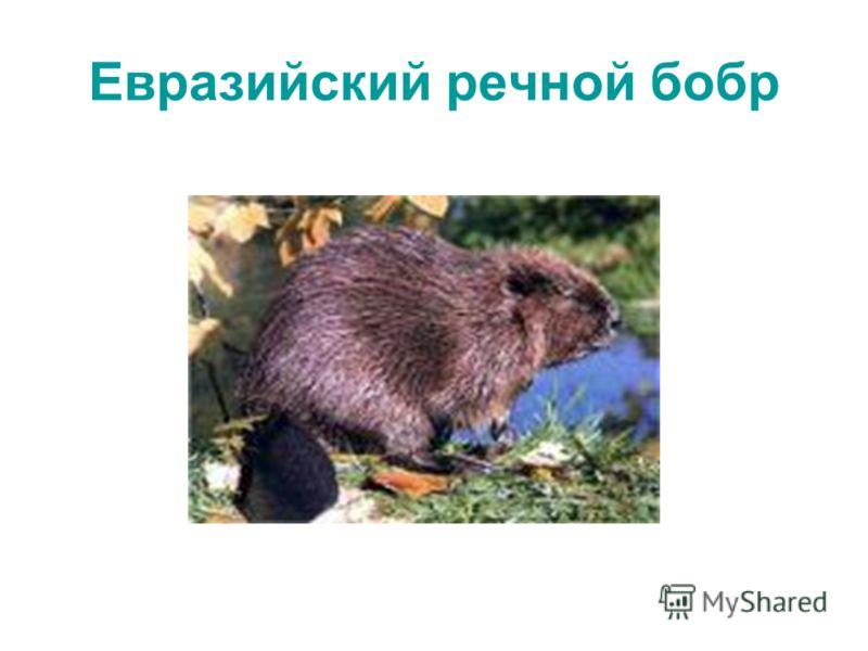 Евразийский речной бобр