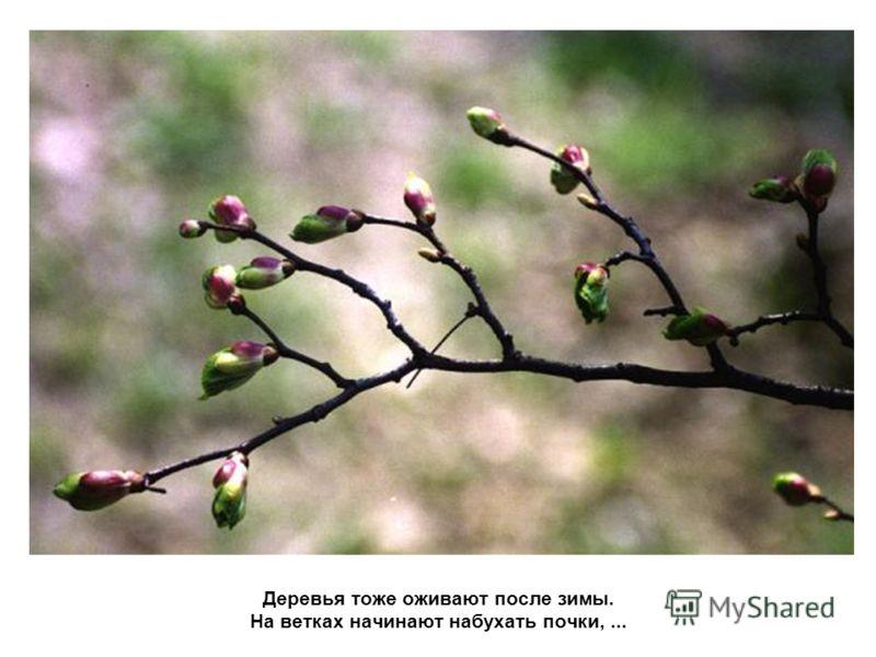 Деревья тоже оживают после зимы. На ветках начинают набухать почки,...