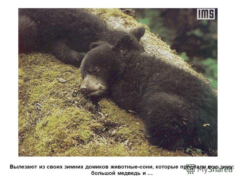 Вылезают из своих зимних домиков животные-сони, которые проспали всю зиму: большой медведь и …