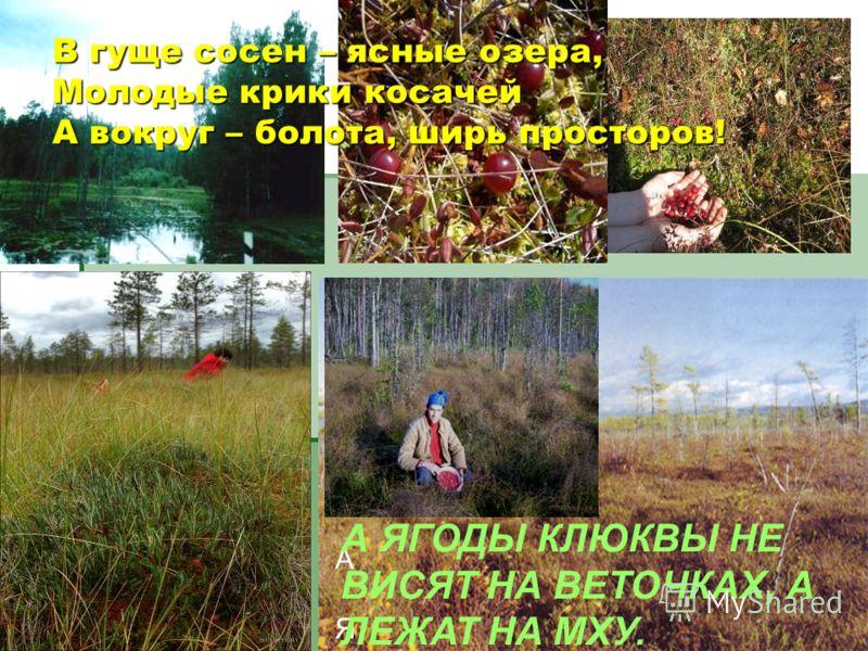 В гуще сосен – ясные озера,Молодые крики косачейА вокруг – болота, ширь просторов! А ЯГОД А ЯГОДЫ КЛЮКВЫ НЕ ВИСЯТ НА ВЕТОЧКАХ, А ЛЕЖАТ НА МХУ.