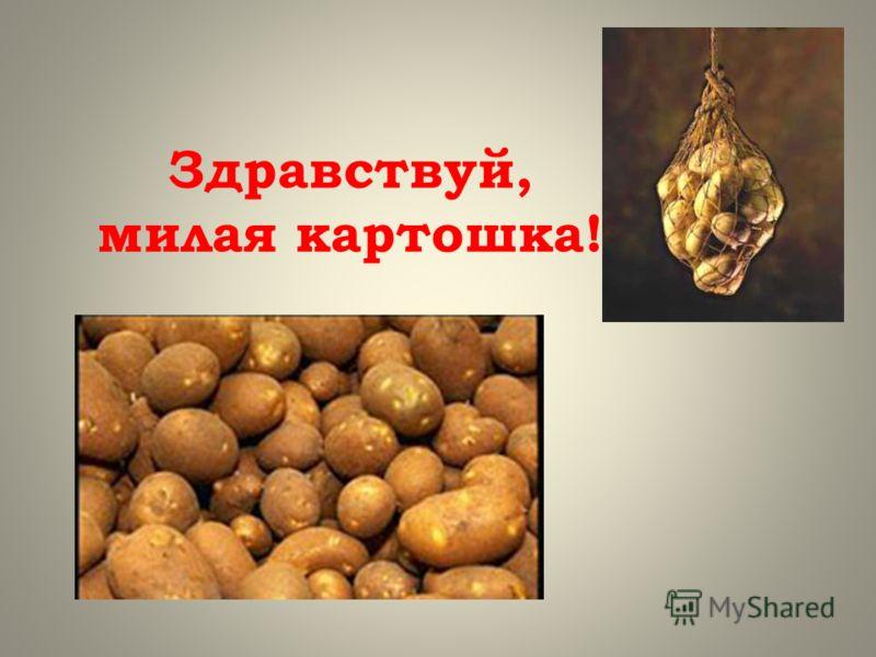 Здравствуй, милая картошка!