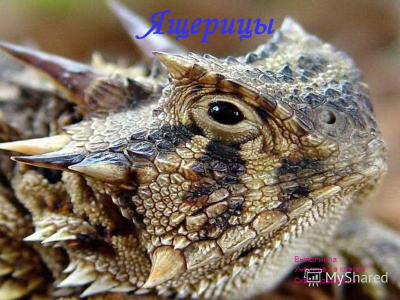 Ящерицы Выполнила: Ученица 7 а класса Скворцова Юлия