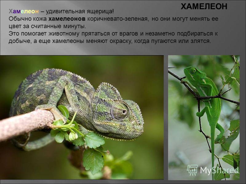 Хамелеон – удивительная ящерица! Обычно кожа хамелеонов коричневато-зеленая, но они могут менять ее цвет за считанные минуты. Это помогает животному прятаться от врагов и незаметно подбираться к добыче, а еще хамелеоны меняют окраску, когда пугаются