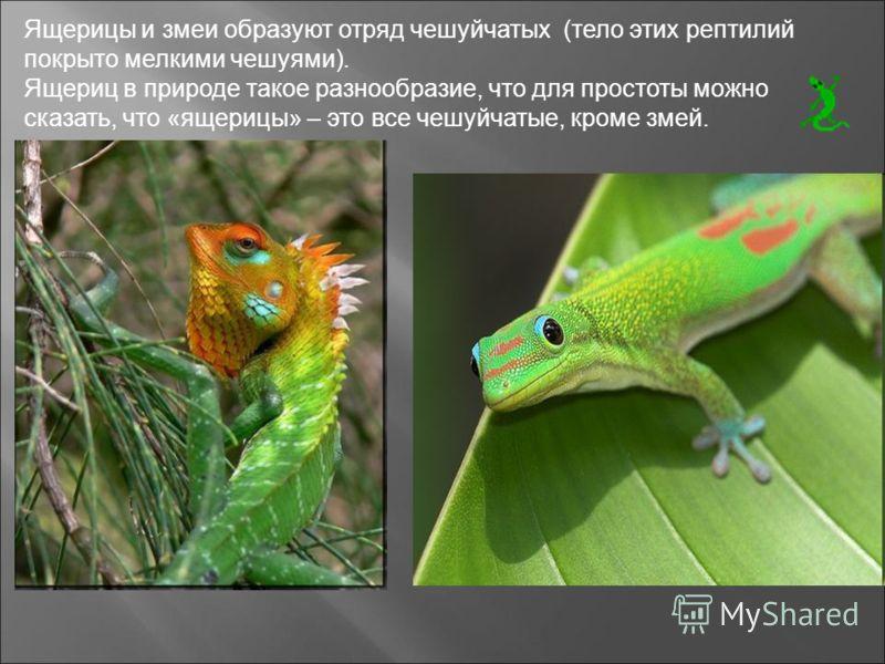 Ящерицы и змеи образуют отряд чешуйчатых (тело этих рептилий покрыто мелкими чешуями). Ящериц в природе такое разнообразие, что для простоты можно сказать, что «ящерицы» – это все чешуйчатые, кроме змей.