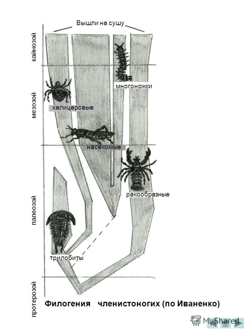 Вышли на сушу кайнозой мезозой палеозой протерозой многоножки хелицеровые насекомые ракообразные трилобиты Филогения членистоногих (по Иваненко)
