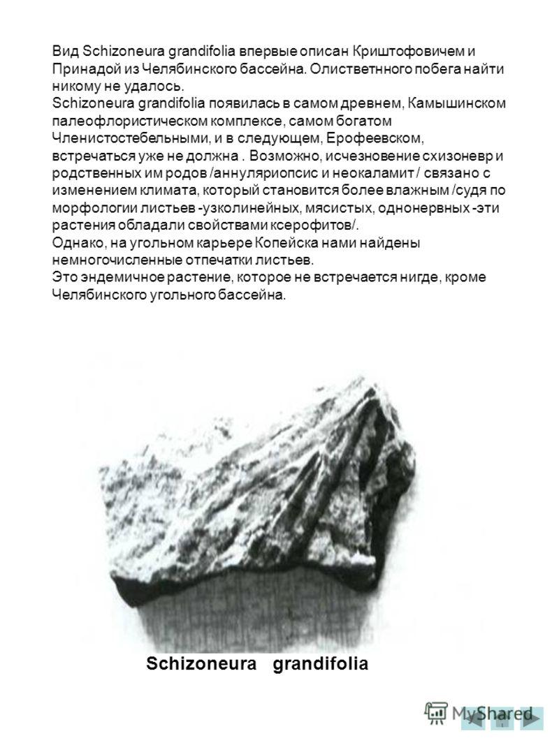 Вид Schizoneura grandifolia впервые описан Криштофовичем и Принадой из Челябинского бассейна. Олистветнного побега найти никому не удалось. Schizoneura grandifolia появилась в самом древнем, Камышинском палеофлористическом комплексе, самом богатом Чл