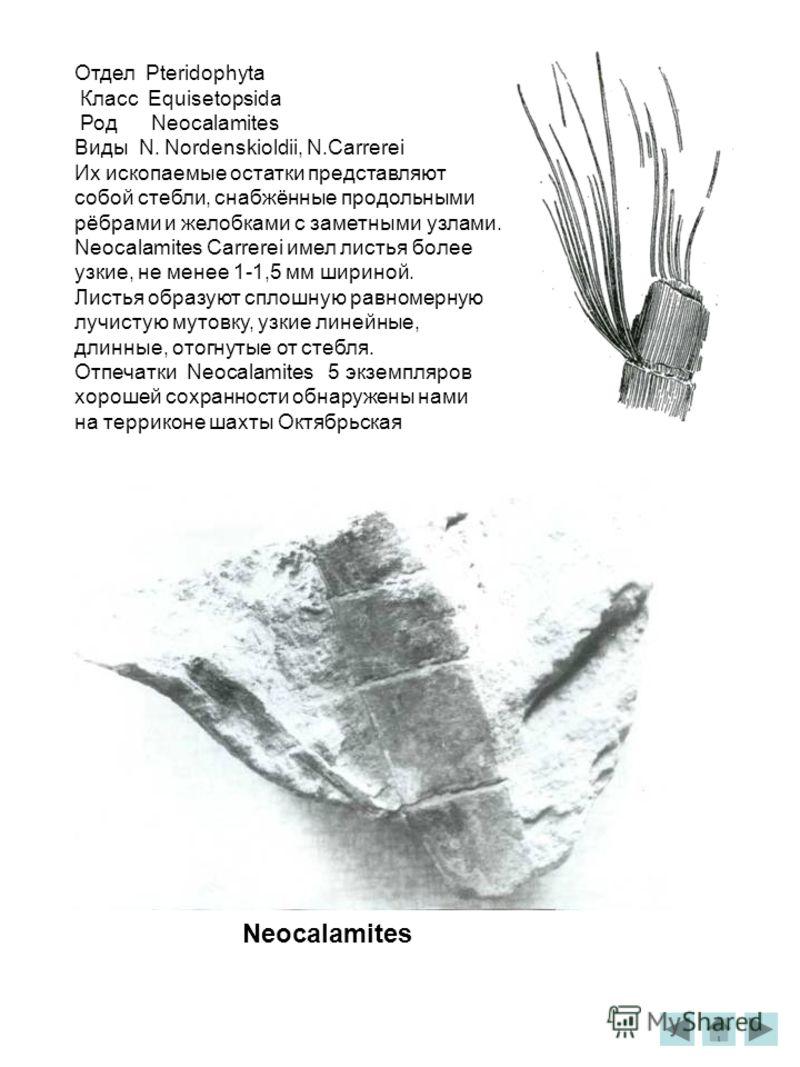 Отдел Pteridophyta Класс Equisetopsida Род Neocalamites Виды N. Nordenskioldii, N.Carrerei Их ископаемые остатки представляют собой стебли, снабжённые продольными рёбрами и желобками с заметными узлами. Neocalamites Carrerei имел листья более узкие,