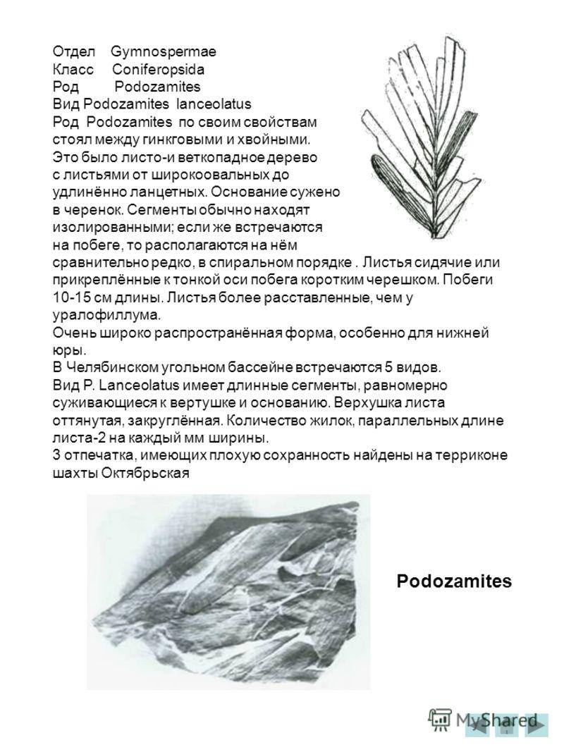 Отдел Gymnospermae Класс Coniferopsida Род Podozamites Вид Podozamites lanceolatus Род Podozamites по своим свойствам стоял между гинкговыми и хвойными. Это было листо-и веткопадное дерево с листьями от широкоовальных до удлинённо ланцетных. Основани