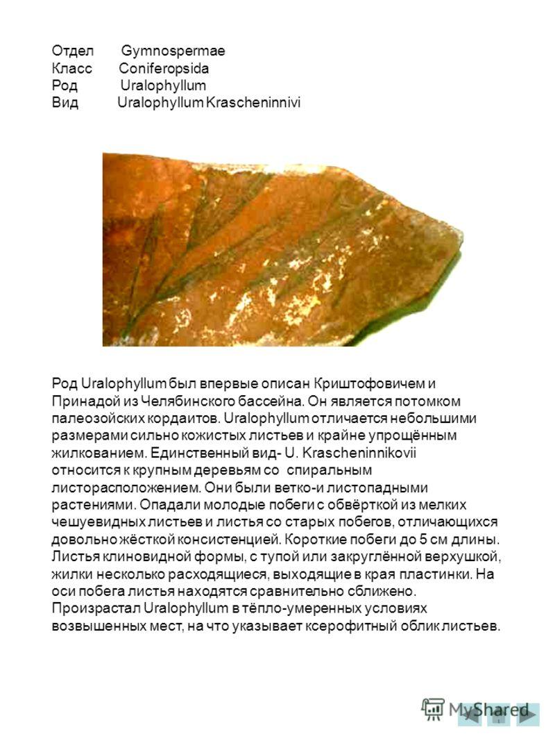 Отдел Gymnospermae Класс Coniferopsida Род Uralophyllum Вид Uralophyllum Krascheninnivi Род Uralophyllum был впервые описан Криштофовичем и Принадой из Челябинского бассейна. Он является потомком палеозойских кордаитов. Uralophyllum отличается неболь