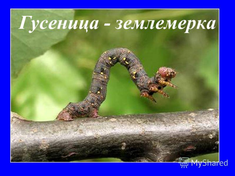 Гусеница - землемерка