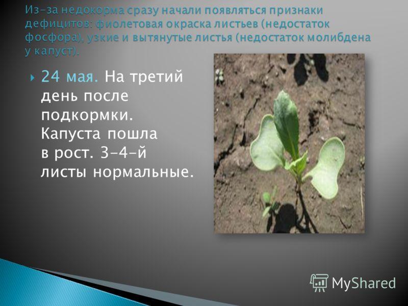 24 мая. На третий день после подкормки. Капуста пошла в рост. 3-4-й листы нормальные.